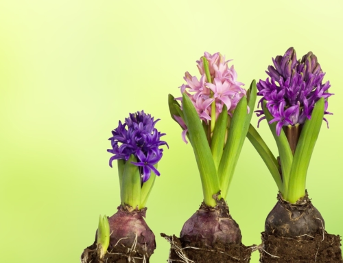 Hyacinths: The March Flowers